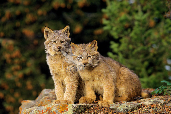 Canadian Lynx kittens (Lynx canadensis)