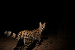 Serval (Leptailurus serval) at night, Kafue National Park, Zambia