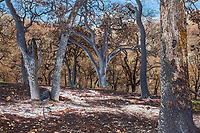 Oak tree ghost ashes on blackened earth; Fire damage and recovery from Nuns fire October 2017, Sonoma Regional Park, California