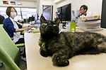 A cat rests between computers at Ferray Corporation on May 31, 2017, Tokyo, Japan. Tokyo IT company Ferray Corporation has adopted nine abandoned cats which now inhabit their offices in an attempt to reduce employee stress, and to increase productivity and office communication. According to CEO Hidenobu Fukuda, the original idea was to help abandoned cats by giving them a place to live, eat and sleep. Employees are even allowed to take the cats home after work and return with them the next day. The company encourages workers to look after cats outside the office too and pays a monthly stipend to employees who adopt rescue cats themselves, and staff can even bring their own pets too into the office. (Photo by Rodrigo Reyes Marin/AFLO)