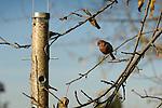 House finch, male on backyard feeder.
