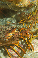 California Spiny Lobster, Panulirus interruptus, San Benito Island, Baja California, Mexico
