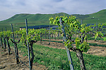 Grape vines in spring at Cambria Winery, Santa Maria Valley, Santa Maria, Santa Barbara County, California