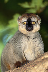 Lemurs come in all sizes and can be found in all habitats on the enormous island of Madagascar. Pictured here is a Red-Fronted Brown Lemur.