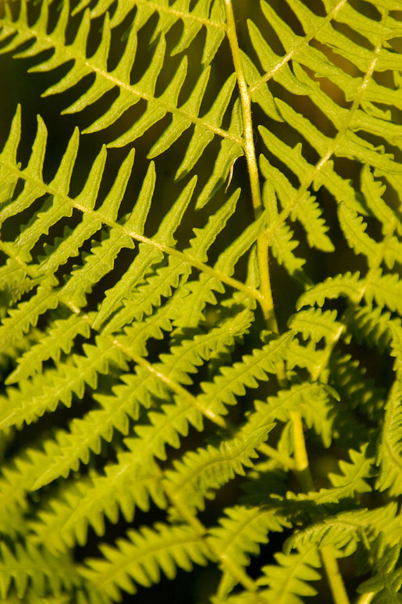 Fern Pattern, Mt. St. Helens National Volcanic Monument, Washington, US