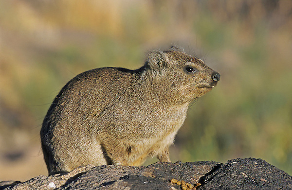 Cape Hyrax Rock Hyrax (Procavia capensis), adult on rock, Namibia, Africa