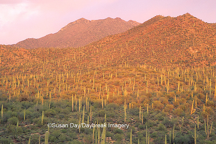 62745-01419 Landscape of Saguaro National Monument (West)   AZ