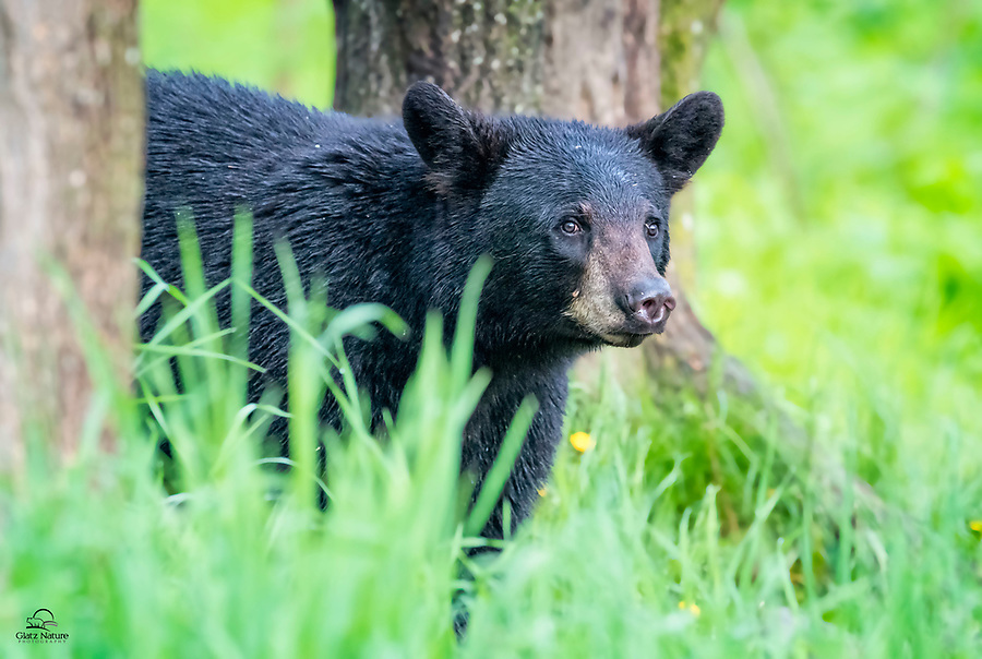 It's usually not a good thing to surprise a Black Bear in the wild.  Here, we were far enough away, and the bear was occupied in gathering her two spring cubs from separate trees behind her.  She called a few times until they woke up.  Here she just noticed the photographers on the others side of the field.