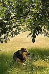 Cosmos, mixed shepherd, under apple tree.