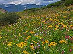 San Juan Mountains, CO<br /> Detaill of yellow flowering sneezeweed (Dugaldia hoopesii) and alpine wildflowers near Stony Pass