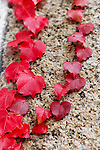 Red Ivy on granite