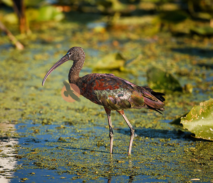 Sunlit Glossy Ibis, wading in water, in adult breeding colors