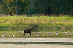 Canada geese and young moose enjoying the wetlands in Kootenai National Wildlife Refuge in north Idaho