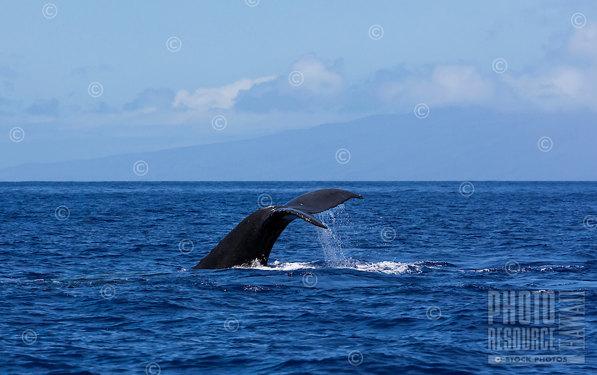 Humpback whale displaying his or her tail above the water off the coast of Maui.