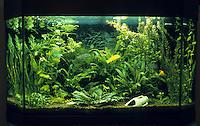Eingerichtetes Aquarium, Gesellschaftsbecken, Warmwasseraquarium, tropisches Süßwasser-Aquarium, aquarium, fish tank. Panoramabecken mit verschiedenen Buntbarschen