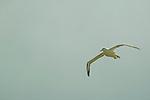 Royal Albatross (Diomedea epomorpha), New Zealand