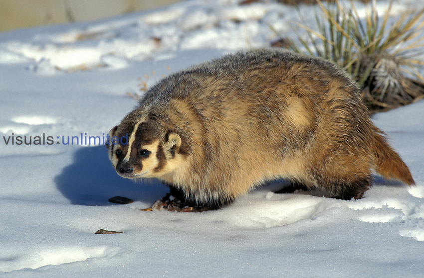 American Badger (Taxidea taxus) on snow, Canada