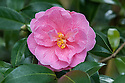 Camellia × williamsii 'Donation', Sussex, early March.