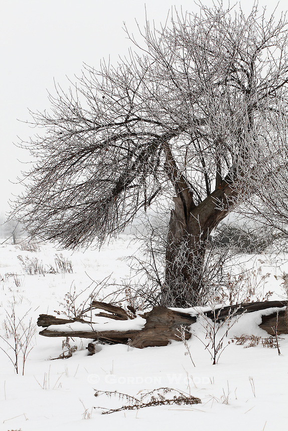 Fruit Tree in Old Orchard with Hoar Frost