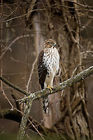 Cooper's Hawk (Accipiter cooperii), immature female, hunting