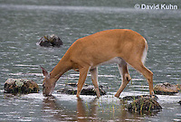 0623-1016  Northern (Woodland) White-tailed Deer Drinking Water, Odocoileus virginianus borealis  © David Kuhn/Dwight Kuhn Photography