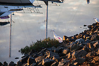 A discarded plastic bag with bright lettering nearly blending-in with one of the two Snowy egrets in the background. In the water are the reflected masts of two occupants of  San Leandro Marina, California.