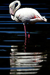 SAN DIEGO, CA - JULY 31: A general view of a Flamingo at the San Diego Zoo on July 31, 2003. Flamingos can grow to a height of 32 to 50 inches. (Photo by: Donald Miralle)