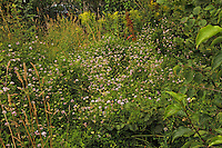 Bunte Kronwicke, Bunte Beilwicke, Securigera varia, Coronilla varia, Trailing Crown Vetch, crownvetch, purple crown vetch, La Coronille bigarrée, Coronille changeante