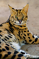 678050004 a serval felis serval rests in its enclosure at a wildlife rescue facility - animal is a wildlife rescue - species is native to east africa