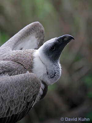 0216-08qq  African White-backed Vulture, Gyps africanus © David Kuhn/Dwight Kuhn Photography