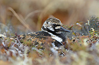 Adult female Ruddy Turnstone (Arenaria interpres) in breeding plumage incubating a nest. Yukon Delta National Wildlife Refuge. Alaska. June.