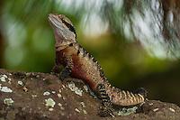 Water dragon, Taronga Zoo, Sydney Harbor, Sydney, New South Wales, Australia