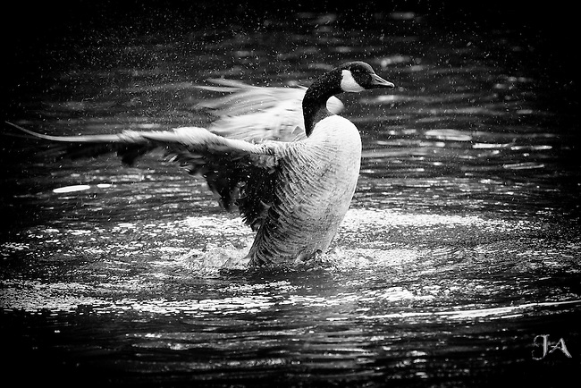 B&W photo of a Canada Goose taking a bath in Martlings's Pond Staten Island.  Water droplets are flying in every direction.