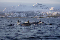 Killer whale Orcinus orca group foraging in Fjord, Tysfjord, Arctic Norway