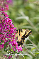 03023-03001 Eastern Tiger Swallowtail Butterfly (Papilio glaucus) on Butterfly Bush (Buddleia davidii)  Marion Co., IL