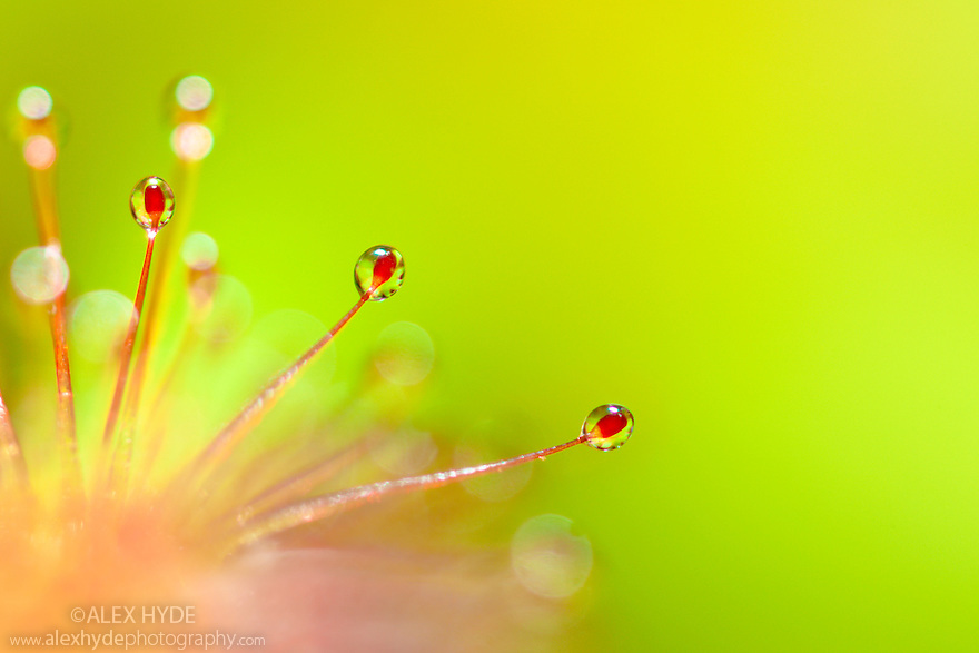 Cape Sundew {Drosera capensis}, close-up of sticky droplets on leaf hairs that trap invertebrate prey. Originating from South Africa. website
