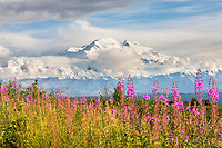 Pink fireweed blossoms in front of Mt. Denali, Denali National Park, Alaska.