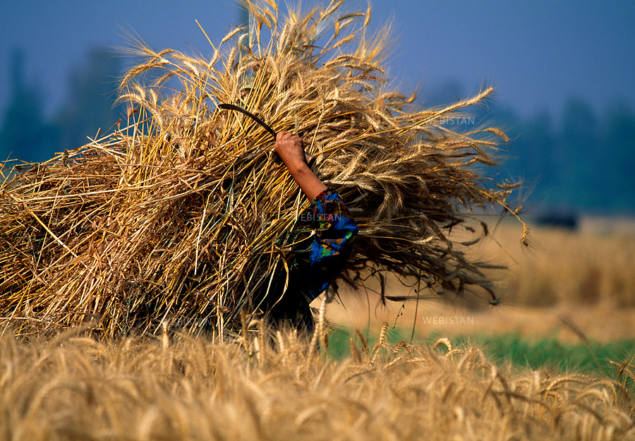 Egypt, Nile Delta, 1996.<br /> An Egyptian peasant harvests a field of grain with a sickle. The traditional growing of grains (wheat, corn, rice) is a millennial one in Egypt and exists alongside cash crops (such as sugar cane, and cotton mostly), thanks to the independent irrigation from the seasonal flooding of the Nile. This photo was taken for a reportage on the Nile Delta for National Geographic Magazine.<br /> <br /> Egypte, Delta du Nil, 1996<br /> Un paysan &eacute;gyptien moissonne un champ de bl&eacute; avec une faucille.<br /> La culture c&eacute;r&eacute;ali&egrave;re (bl&eacute;, mais, riz) est traditionnelle en &Eacute;gypte, et est r&eacute;alis&eacute;e &agrave; c&ocirc;t&eacute; des cultures commerciales (canne &agrave; sucre, coton majoritairement), gr&acirc;ce &agrave; l&rsquo;irrigation ind&eacute;pendante de la crue saisonni&egrave;re du Nil. <br /> Sujet r&eacute;alis&eacute; dans le cadre d'un reportage sur le Delta du Nil pour le National Geographic Magazine.
