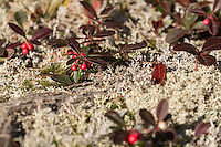 &quot;Wintergreen Berries&quot;<br />
