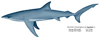 Blue shark, Prionace glauca, illustration by the artist Wyland
