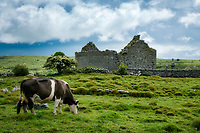 Carran Church ruins with cows grazing. The Burren. County Clare, Ireland