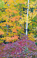 Birch tree trunks are framed by autumn color in a Newport State Park forest, Door County, Wisconson