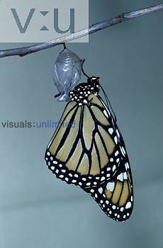 Monarch Butterfly ,Danaus plexippus, adult emerging from its chrysalis.