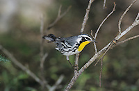 Yellow-throated Warbler, Dendroica dominica, male, Concan, Texas, USA, May 2002