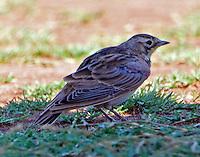 Juvenile horned lark