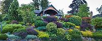 Foliage textured hillside shrub border with Barberry, Heathers, Cinqefoil, Sunrose, Nandina, Yew, etc - Seattle Washington, Stacie Crooks design