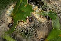 Eichen-Prozessionsspinner, Eichen - Prozessionsspinner, Eichenprozessionsspinner, Raupe, Raupen fressen an Eiche, Thaumetopoea processionea, oak processionary moth