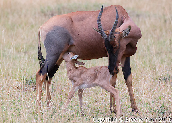 Antelope Mom and Baby