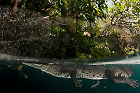 Morelet's crocodile, Central American crocodile, Mexican crocodile, or Belize, Caribbean, Atlantic crocodile, Crocodylus moreletii, in cenote, or freshwater spring, near Tulum, Yucatan Peninsula, Mexico, Caribbean, Atlantic
