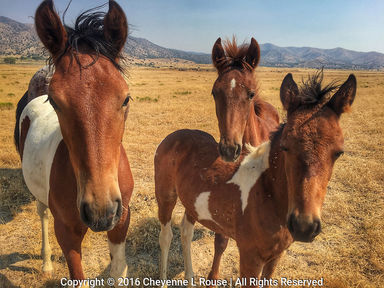 Wild Babies - Utah - Mustangs - Wild horses<br /> <br /> Note: This photo can NOT be printed larger than 16x24 due the small file size.